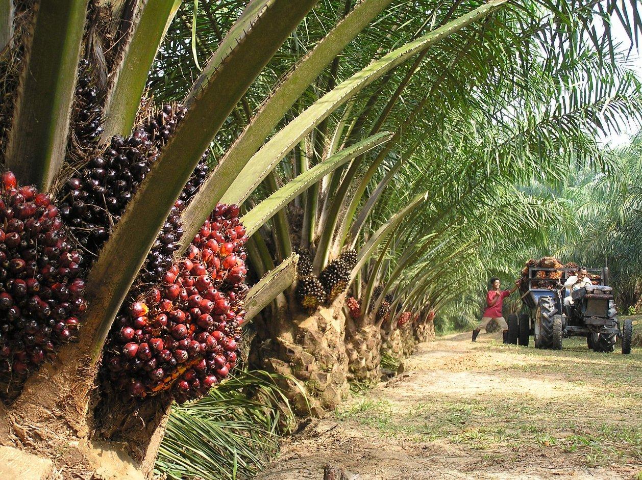 Palm Oil Biofuels
