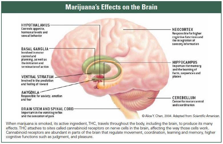 marijuanaBrain